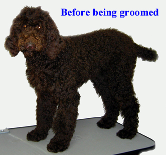 Poodle No Haircut