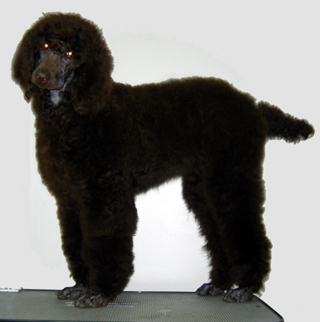 Grooming your poodle i did do the grooming on these 2 dogs pictured below if i can do it so can you i have listed everything i use below solutioingenieria Image collections