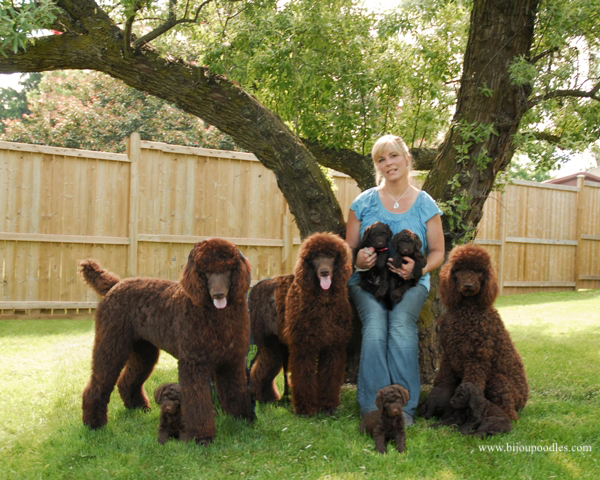 Generations Of Our Brown Poodles Are Featured Below