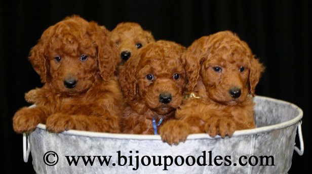Standard poodle puppies red