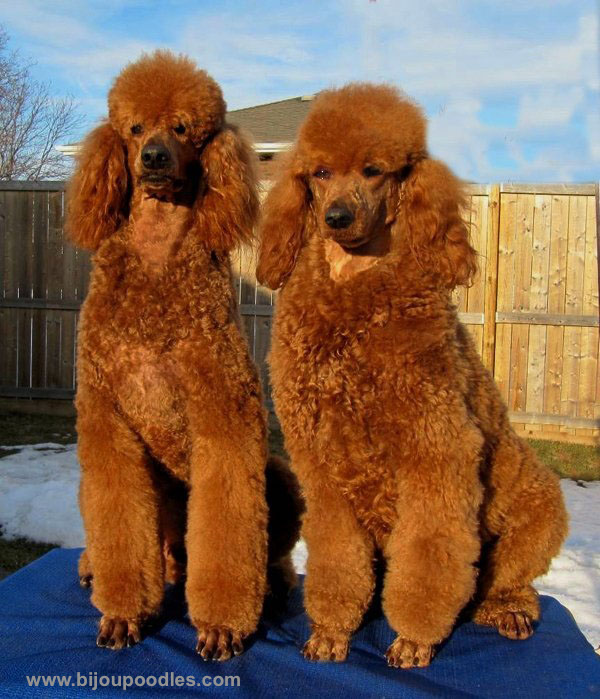 What color is a red poodle