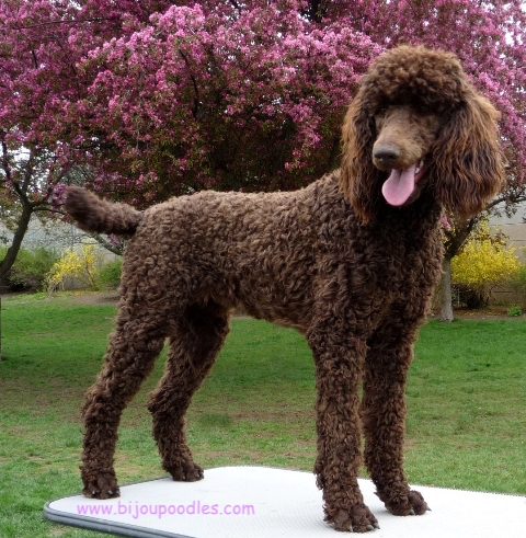 Weight of poodle sizes