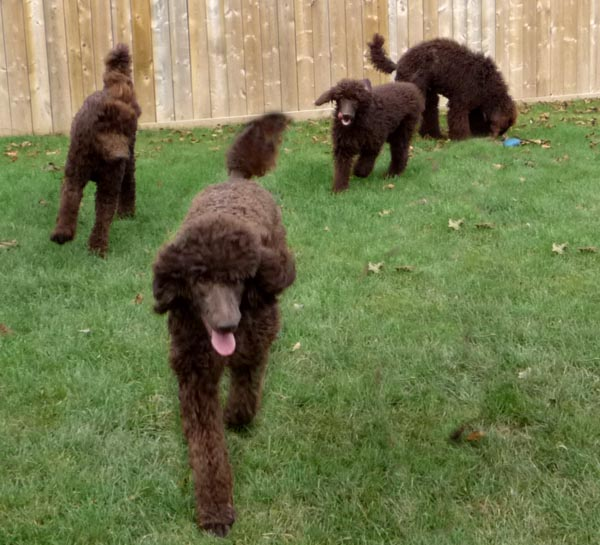 Royal standard poodle texas