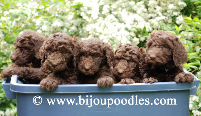 Red Standard Poodle Puppies For Sale Brown Standard Poodle