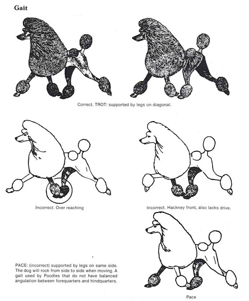Standard Poodle Structure Explained