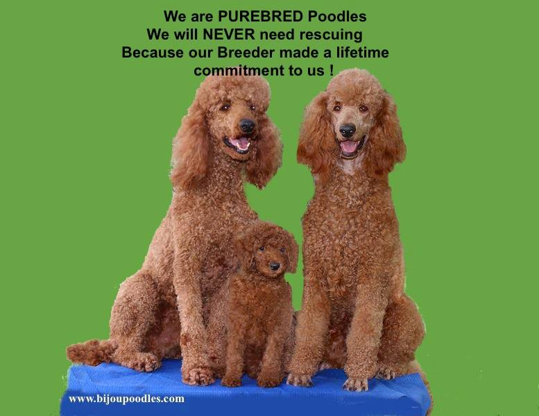 red standard poodle puppies for sale, Brown Standard Poodle