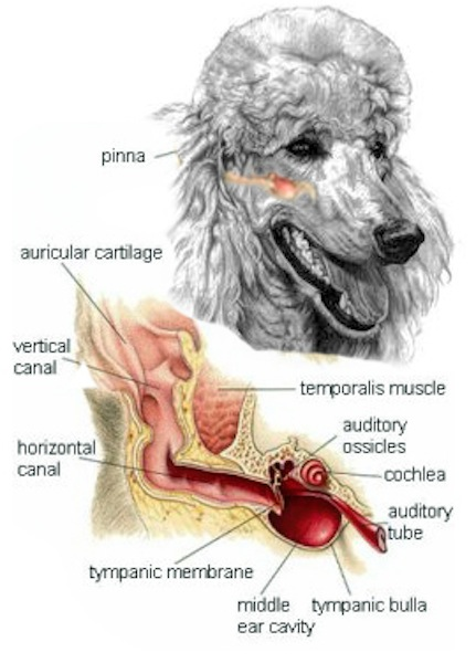 Cleaning Dog S Tear Ducts