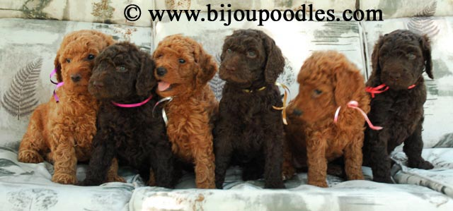 About US and our Standard Poodles